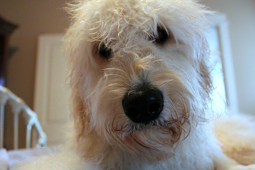 Jack the Goldendoodle