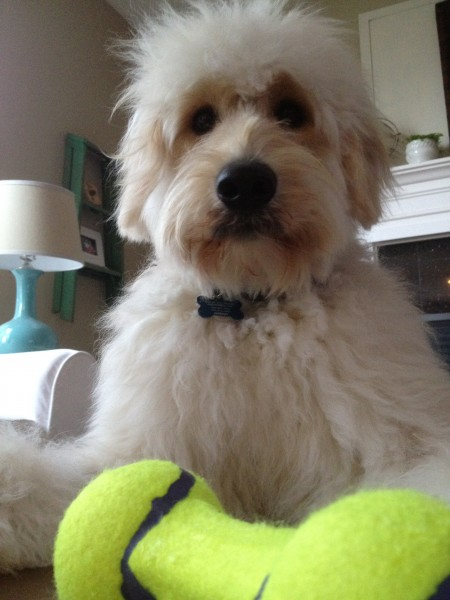 Sprucing up for Spring {Jack the Goldendoodle Gets a Hair Cut and We Get a Dyson Animal}