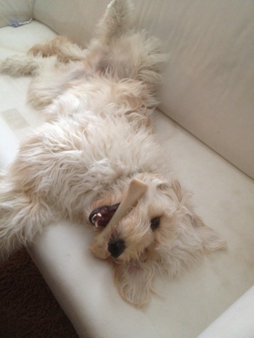 A Day In The Life Jack The Goldendoodle At Home The