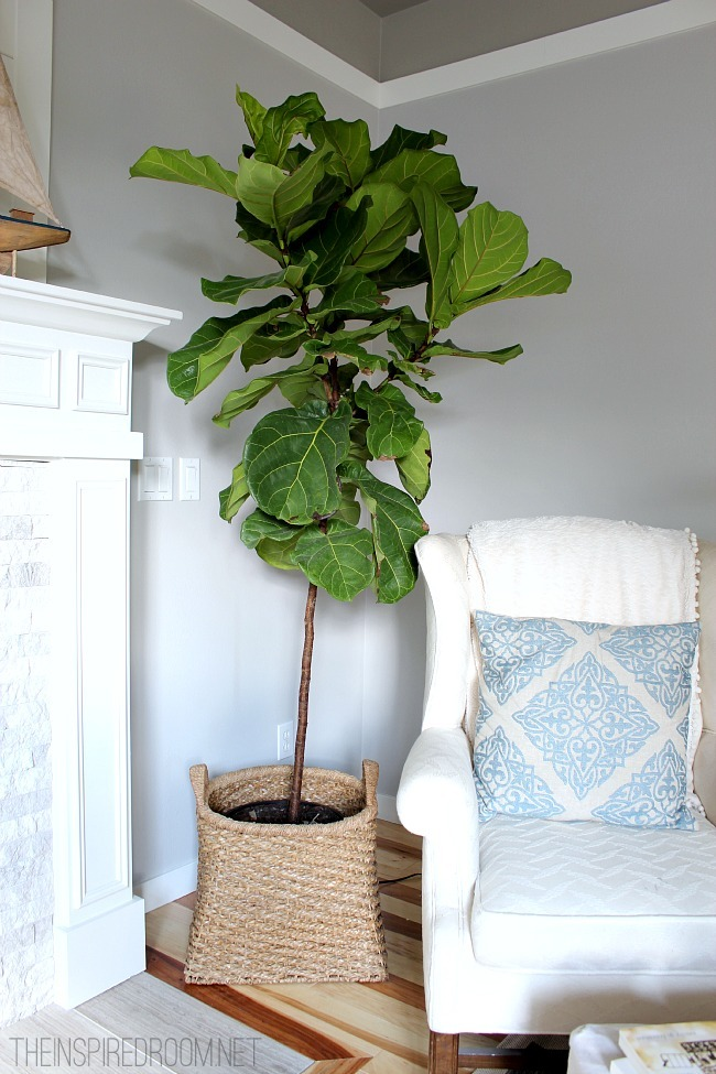 Fiddle Leaf Fig Tree Pruned