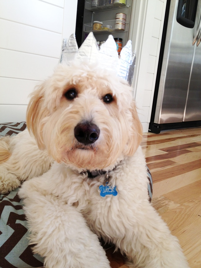 Jack the goldendoodle in his crown