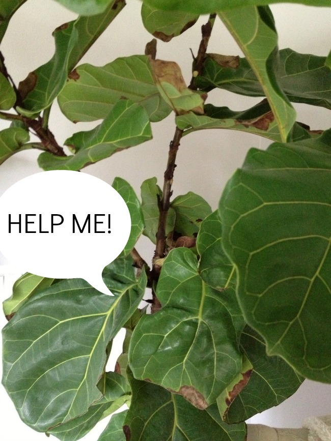 fiddle leaf fig brown leaves