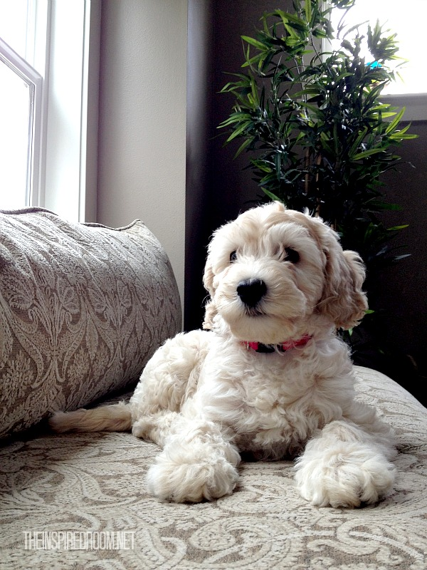 lily the australian labradoodle the inspired dog blog
