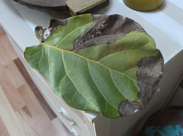Fiddle Leaf Fig Fail
