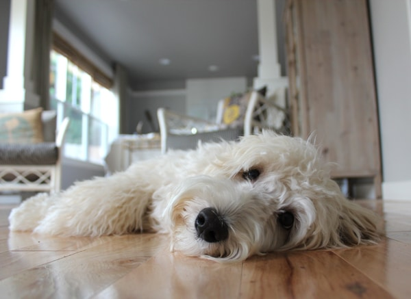 Lily the Labradoodle Nap_-1