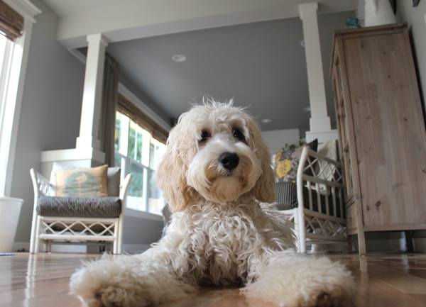 Lily the Labradoodle The Inspired Room