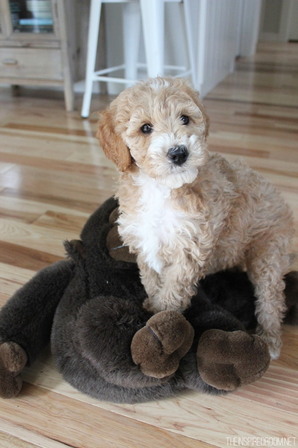 Australian Labradoodle from The Inspired Room