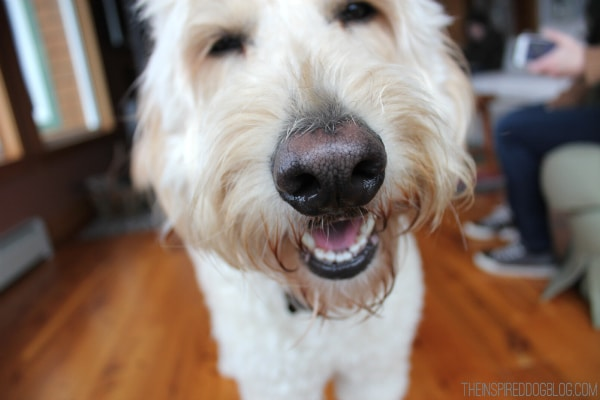Jack the Goldendoodle Laughing