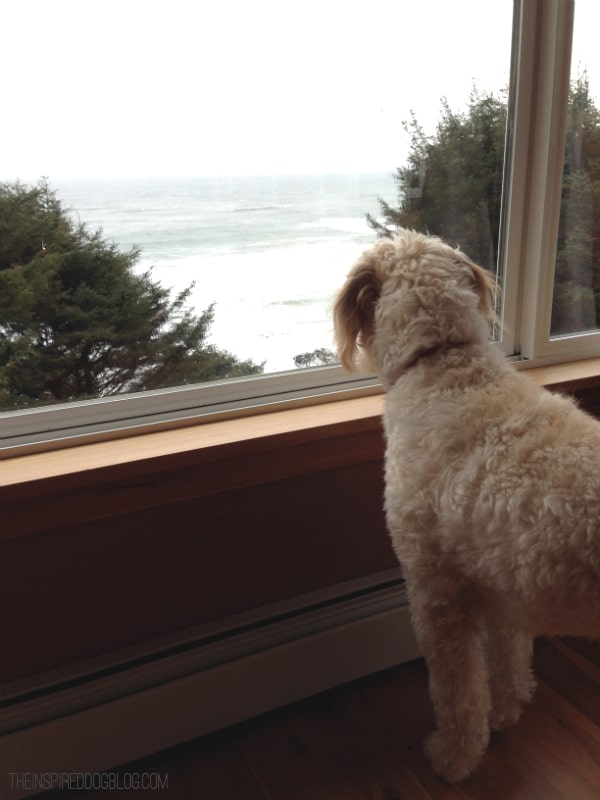 Jack the Goldendoodle Looking at the Ocean
