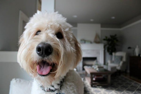 Jack the Goldendoodle Smile