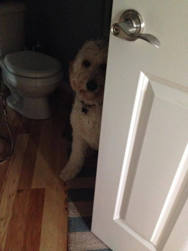 Jack the Goldendoodle in a Timeout