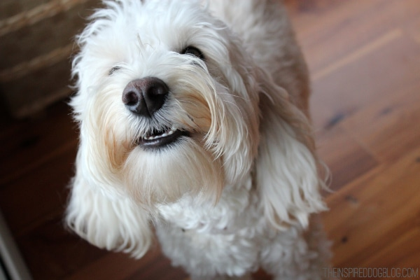 Lily the Australian Labradoodle Smiling