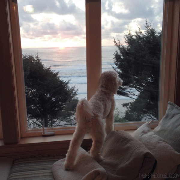 Lily the labradoodle gazing at ocean