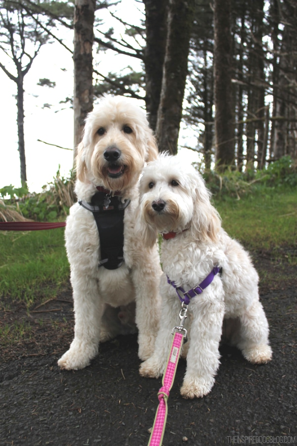 Jack and Lily Goldendoodle and Labradoodle