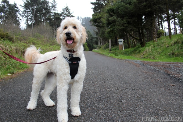 Jack the Goldendoodle On A Walk