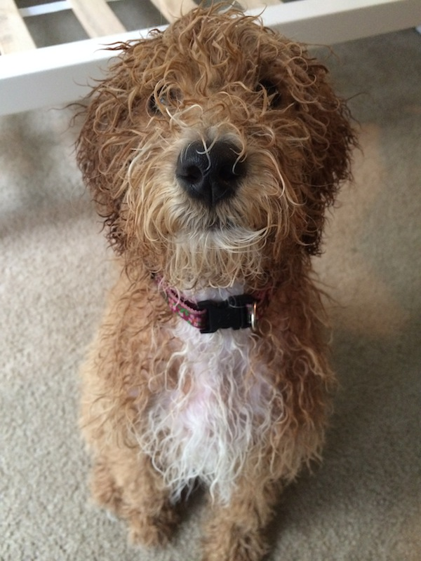 Bella the Australian Labradoodle After A Bath