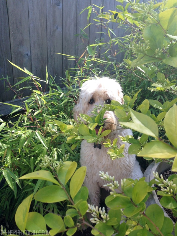 Jack the Goldendoodle Hide and Seek