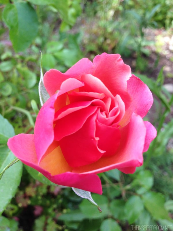 Pretty Pink Rose - Updates to the Backyard by The Inspired Room