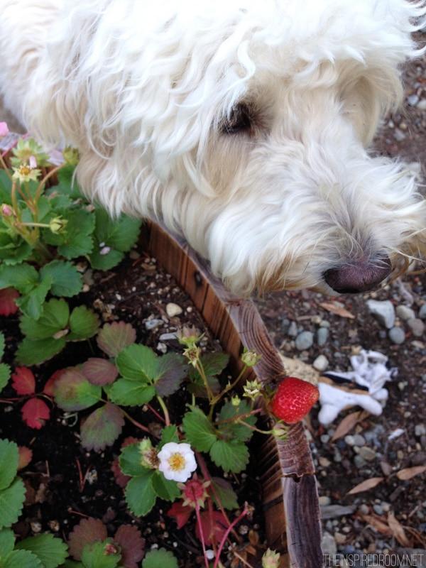 A Little Garden Update: In the Backyard