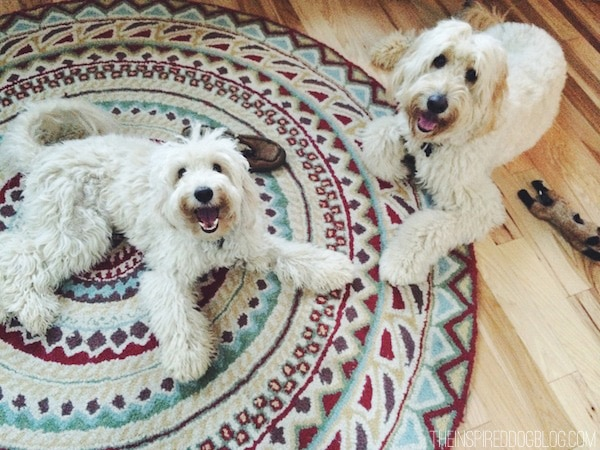 Jack and Lily - The Inspired Dog Blog - Goldendoodle and Labradoodle