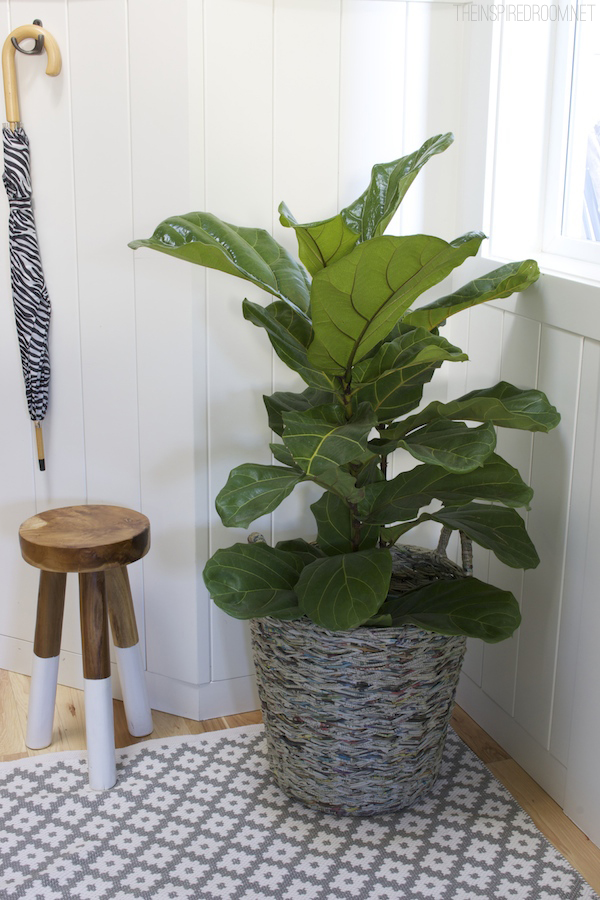 Fiddle Leaf Fig Tree in the Entry - The Inspired Room