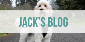 Jack the Goldendoodle Dog Blog
