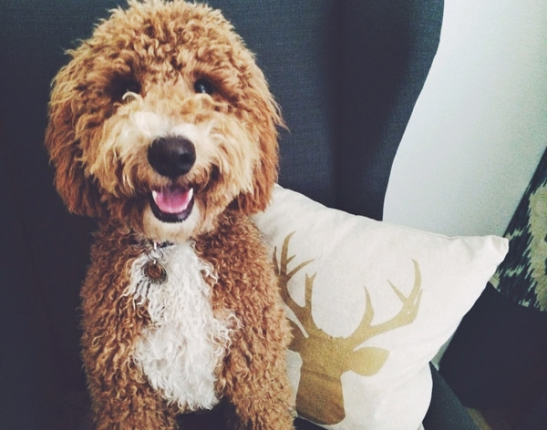 Bella - Labradoodle - The Inspired Room Christmas