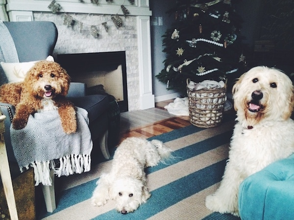 The Inspired Room Christmas - Jack Lily Bella Labradoodles and Goldendoodles