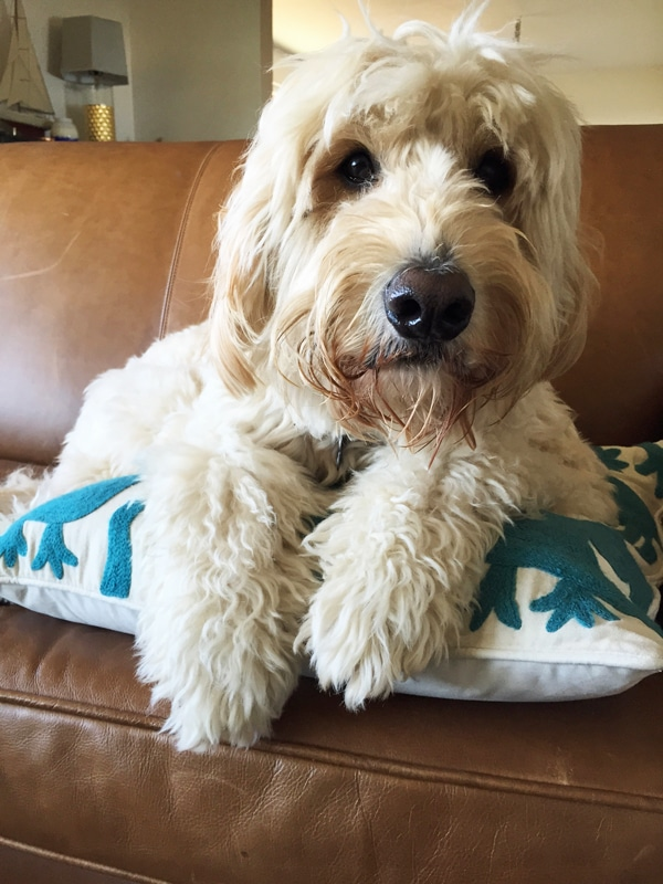 Jack the Goldendoodle / The Inspired Room