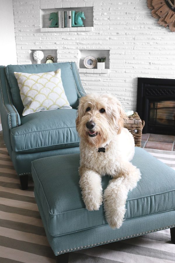 Jack the Goldendoodle - The Inspired Room