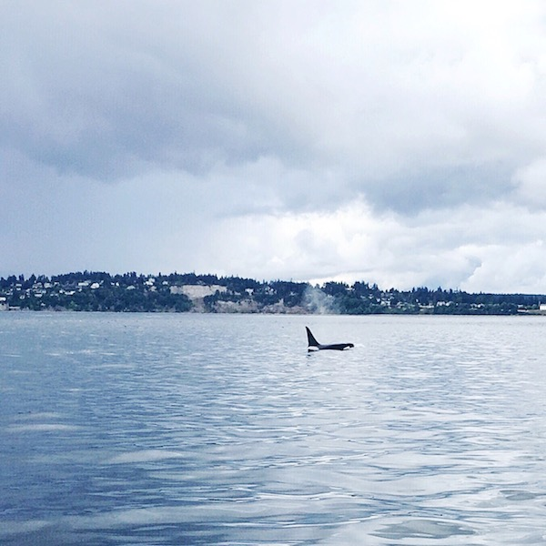 Orca Whale Sighting - Port Townsend Whale Watching - The Inspired Room