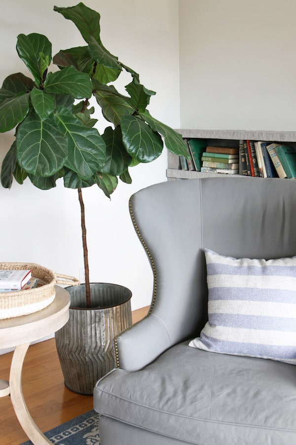The Inspired Room - Fiddle Leaf Fig copy