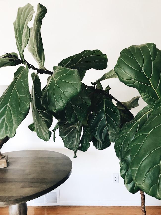A Growing Fiddle Leaf Fig?