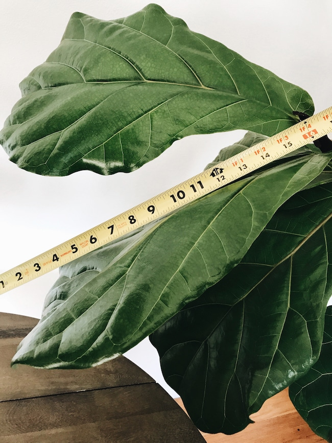 A Growing Fiddle Leaf Fig?