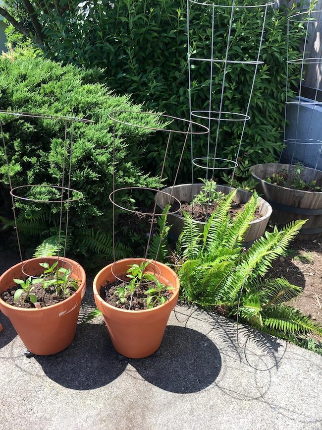 My Vegetable Container Garden