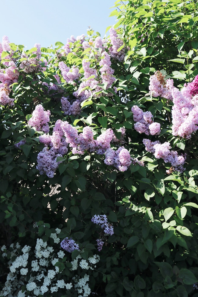 Garden Therapy + Lilacs + Plant Scents