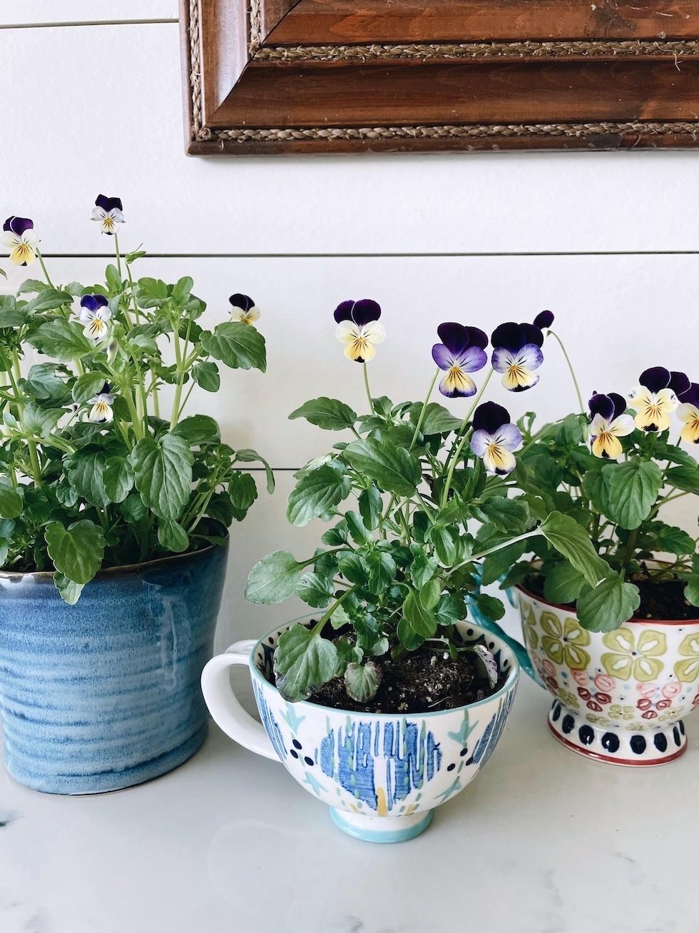 Edible Flower Teacup Garden in the Kitchen